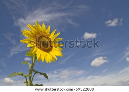 One sunflower in the corner of the picture and blue sky at the background