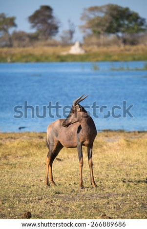 One tsessebe standing beside the blue waters of the Linyanti swamps - stock photo