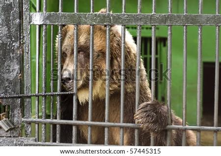 One unhappy bear in bondage - stock photo