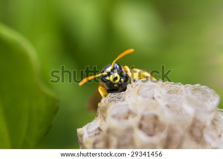 one wasp over the nest macro on green background - stock photo