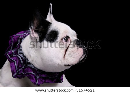 one white bulldog closeup portrait over black