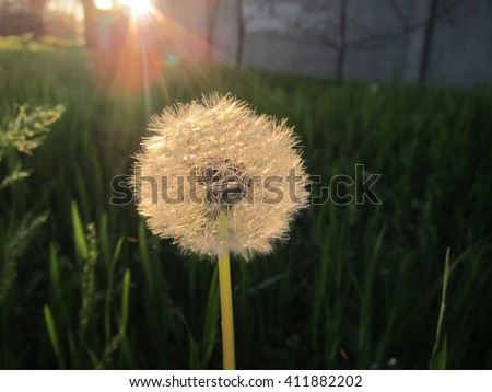 One white fluffy dandelion on the green grass in the sun - stock photo