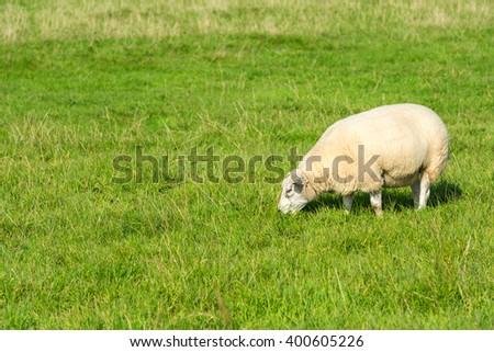 one white sheep eats green grass at farm - stock photo