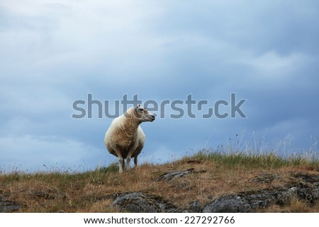 One white sheep standing at rocky Norwegian island at dry summer, with very little green grass, and blue cloudy sky on the background.  - stock photo