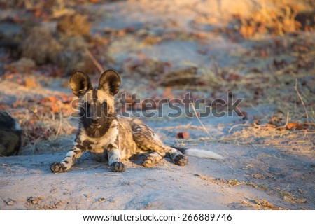 One wild dog resting and staring inquisitively in the Okavango delta - stock photo