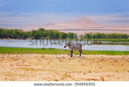 One wild zebra in a African flood plain - stock photo