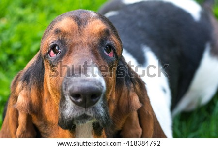 One year old Basset hound (Canis lupus familiaris) in the yard of a hobby farm.  Dark patchy spotted dog with floppy ears and sad droopy eyes on a hobby farm in Ontario, Canada.  - stock photo
