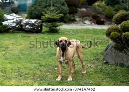 one year old female of Fila Brasileiro (Brazilian Mastiff) - stock photo