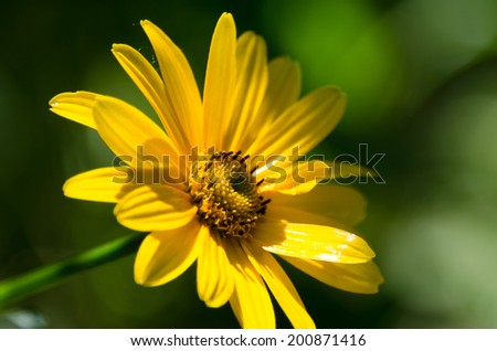 One yellow arnica flower among green leaves in the garden. - stock photo