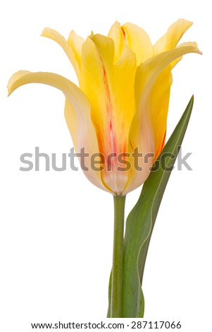 One yellow tulip isolated on white background.	 - stock photo