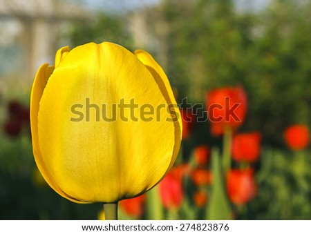 One yellow tulip on a blurred background - stock photo