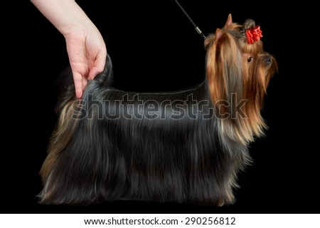 One Yorkshire Terrier with long groomed hair stands at dog show on black background - stock photo