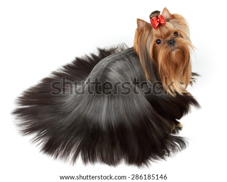 One Yorkshire Terrier with perfectly groomed and combed long hair of round form lies on white isolated background. Upper view.                        - stock photo