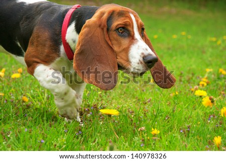 one young basset hound female dog with red collar playing in a field of yellow dandelion flowers - stock photo