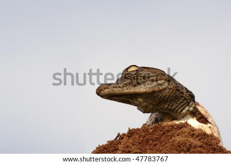 One young croc hatching from egg with head up against a blue sky - stock photo