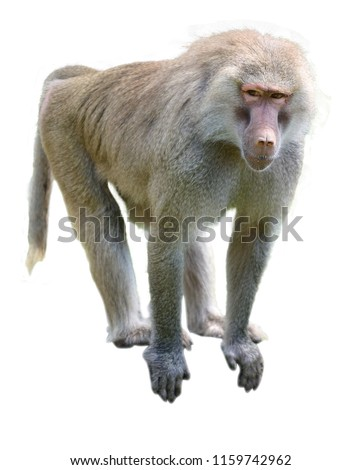 One young Hamadryas baboon isolated on white background. Copy space