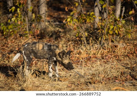 One young wild dog gnawing playfully on a dry stick in the Okavango delta - stock photo