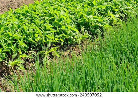 Onion and Lettuce in vegetable garden  - stock photo