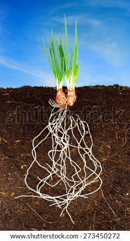 Onion Growing plant with underground root visible and blue sky - stock photo