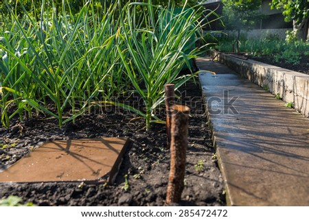 Onion plants growing in a spring vegetable garden alongside a cement retaining wall dividing the beds of veggies - stock photo