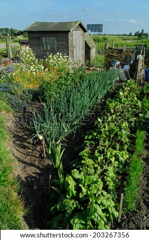 Onions, beetroot and wild meadow flowers growing on a community garden allotment in front of wooden gardening shed.  - stock photo