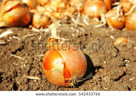 Onions ready for harvest