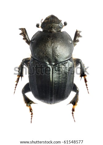 Onitis damoetas (female) - stock photo
