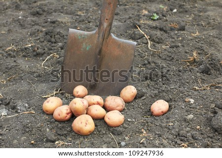 only the dug-out potato in the field with a shovel
