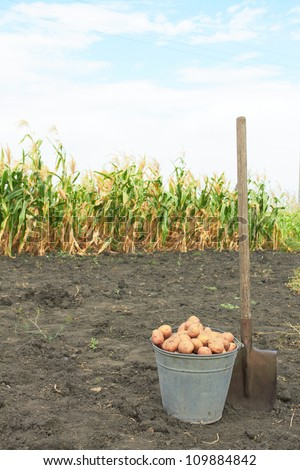 only the dug-out potato in the field with a shovel - stock photo