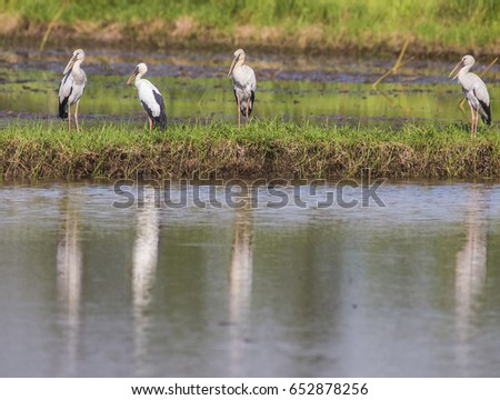 Open-billed storks gather along a lake to feed in east Thailand. Their reflections appear in the water.