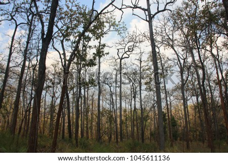 Open canopy of Dry Dipterocarp forest in Northern Thailand. This subtype is dominated by Dipterocarpus & Dipterocarp Forest Stock Images Royalty-Free Images u0026 Vectors ...