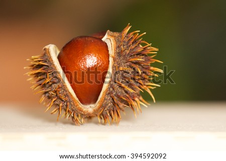 Open chestnut as decoration on a light background, Close up - stock photo