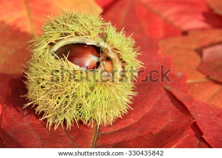 open chestnut cupule on decorative autumn leaves