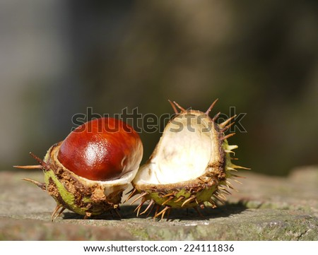 Open horse chestnut resting on brick wall with out of focus background - stock photo