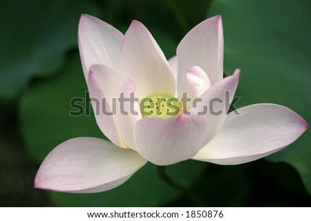 open lotus flower stock photo   shutterstock, Beautiful flower
