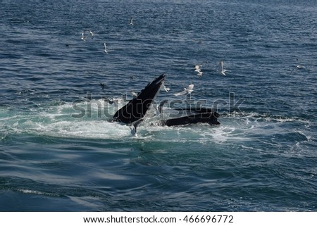 Open mouth feeding humpback whale
