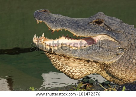 Open mouth of an American alligator (Alligator mississippiensis) sunning itself on a bank near the water at Myakka River State Park near Sarasota, Florida - stock photo