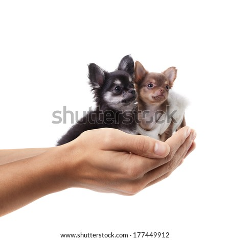 Open palm hand holding Two Chihuahua dogs isolated on white background. High resolution  - stock photo