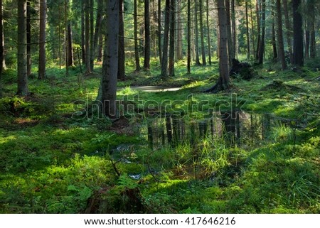 Open standing water inside coniferous stand in morning,Bialowieza Forest,Poland,Europe