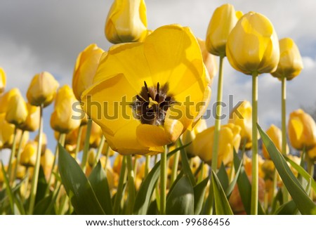 open tulip in field - stock photo