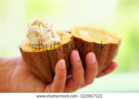 opened raw, fresh cocoa pod in hands, with beans inside - stock photo