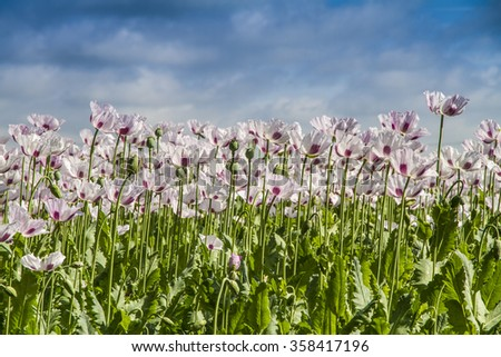 Opium poppy, Papaver somniferum grown for the production of medical opiates - stock photo