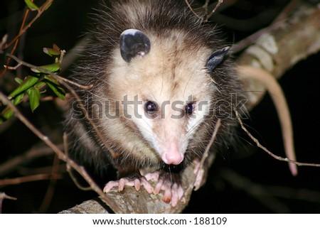 Opossum Great Smoky Mountains - stock photo
