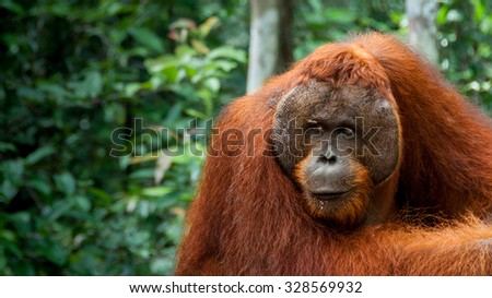 Orang Utan Alpha male resting in Borneo - stock photo