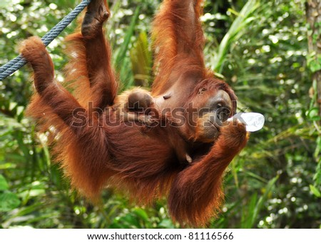 Orang Utan And Baby Hanging on A Rope - stock photo