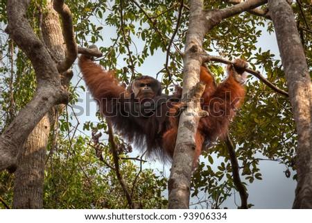 Orang-utan from Borneo, Indonesia - stock photo
