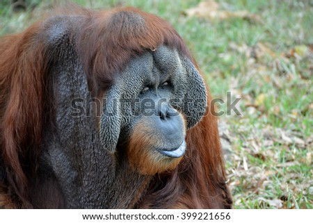 Orang Utan in the zoo - stock photo