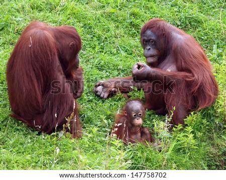 orang utan with baby - stock photo