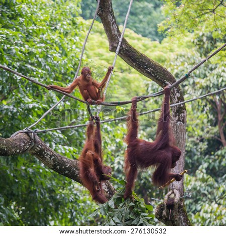 orang utans hanging on the rope - stock photo