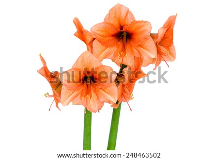 Orange Amaryllis in full blossom over a white background - stock photo